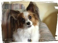 Papillon staying put with sit-stay command