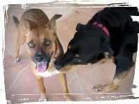 Mutt socializing with Rottweiler