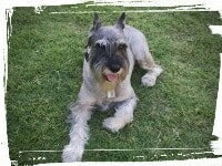 Schnauzer laying down, down-stay command