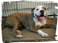 Staffordshire Terrier pitbull on dog bed, place command