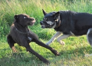 dogs fighting at dog park