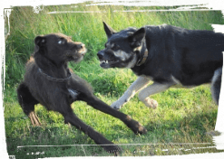 How to Safely Break Up Dog Fights | Paws To Train Your Dog