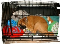 Boxer sleeping in crate
