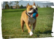 dog fetching a ball