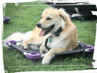 dog on elevated dog cot, place and down-stay commands