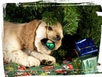 puppy chewing on christmas ornament